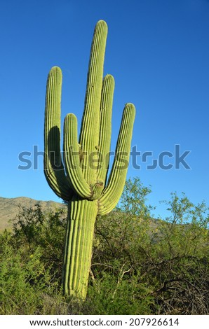 The saguaro is an arborescent (tree-like) cactus species in the monotypic genus Carnegiea,. It is native to the Sonoran Desert (Saguaro National Park) in the U.S. state of Arizona.