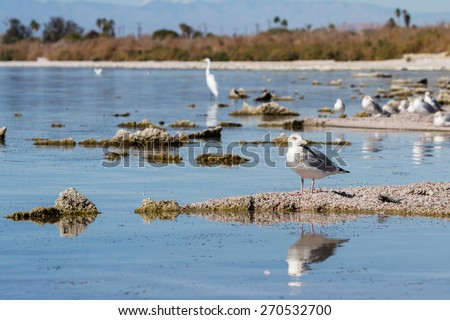 The Salton Sea in southern California is home to numerous birds, in this picture are some seagulls and a great egret. - stock photo