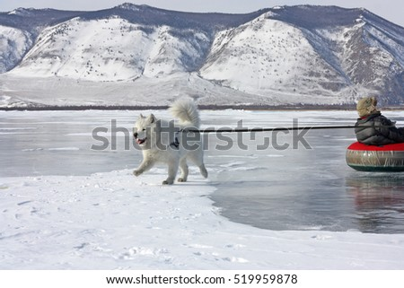 The samoyed dog in the highlands of Lake Baikal sledding the child on the ice  in the New Year's holiday.