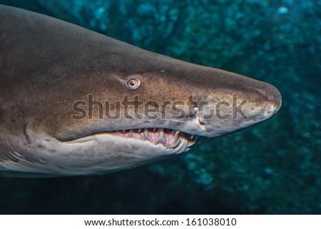 The Sand Shark head - stock photo