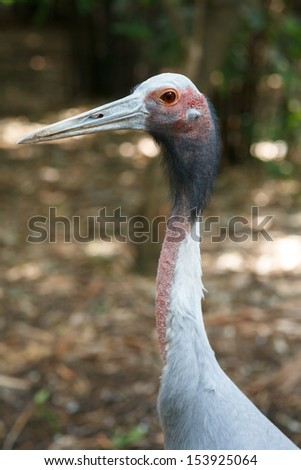 The Sarus Crane (Grus antigone) is a large non-migratory crane found in parts of the Indian Subcontinent, Southeast Asia and Australia