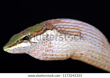 The Savanna vine snake (Thelotornis capensis) is a highly venomous rear-fanged venomous snake species found in Southern Africa.