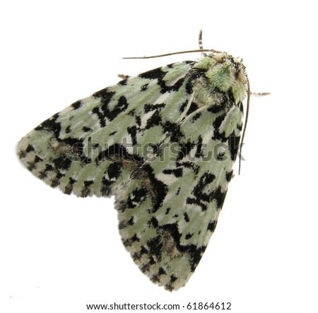 The Scarce Merveille du Jour (Moma alpium) moth isolated on white