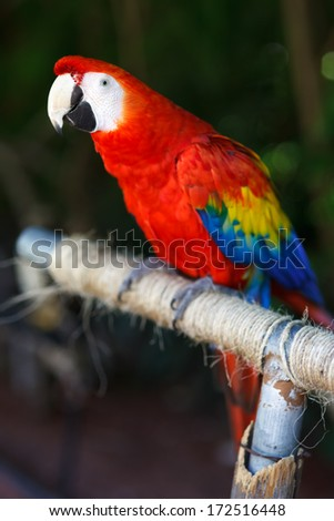 The Scarlet Macaw (Ara macao) is a large, red, yellow and blue South American parrot, a member of a large group of Neotropical parrots called macaws