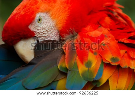 THE SCARLET MACAW IS A LARGE, COLORFUL MACAW IT IS NATIVE TO HUMID EVERGREEN FORESTS IN THE AMERICAN TROPICS RANGE EXTENDS FROM EXTREME SOUTH-EASTERN MEXICO TO AMAZONIAN PERU, BOLIVIA AND BRAZIL  - stock photo
