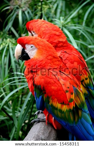 The Scarlet Macaw is a large colourful parrot.