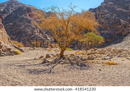 The scenic camel thorn trees - Acacia erioloba in valley of Eilat mountains, Israel.