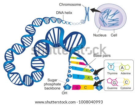 Schematic Illustration Shows Structure Double Stranded Stock ...