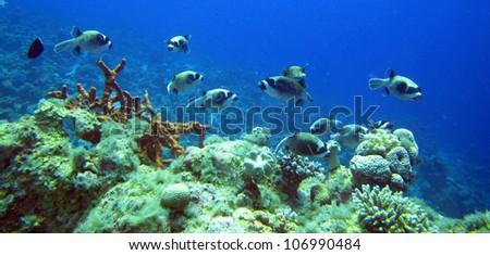 The school of masked pufferfish (Arothron diadematus) - stock photo