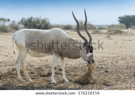 The scimitar horned Addax (Addax nasomaculatus) is inhabitant of the Sahara desert