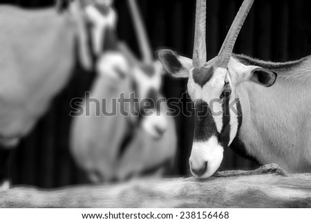 The scimitar oryx or scimitar-horned oryx (Oryx dammah), also known as the Sahara oryx, is a species of Oryx now extinct in the wild.  - stock photo