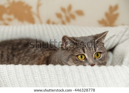 The Scotch Grey Cute Cat is Hiding in the Knitted White Sweater.Beautiful Look.Animal Fauna,Interesting Pet. - stock photo