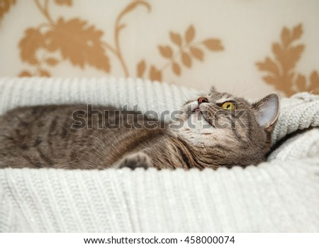 The Scotch Grey Cute Cat is Playing in the Knitted White Sweater.Beautiful Look.Animal Fauna,Interesting Pet. - stock photo