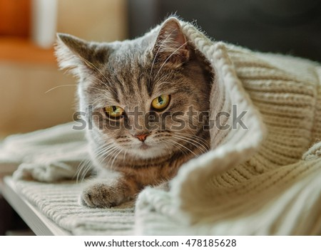 The Scotch Grey Cute Cat is Sitting in the Knitted White Sweater.Animal Fauna.Selective Focus
