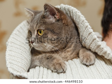 The Scotch Grey Cute Cat is Sitting in the Knitted White Sweater on the Men's Shoulder.Animal Fauna,Interesting Pet. - stock photo
