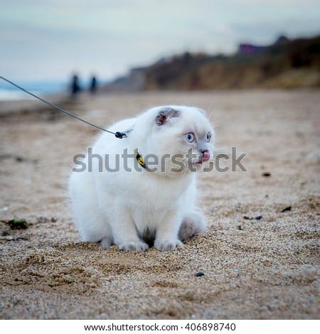 the Scottish cat on the beach - stock photo