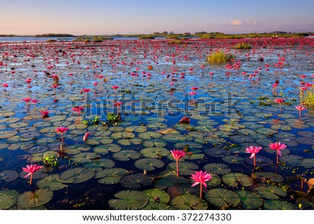 The sea of red lotus, Lake Nong Harn, Udon Thani, Thailand - stock photo