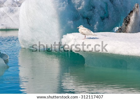 The seagull is sitting on an iceberg at Jokulsarlon glacier lagoon, Iceland