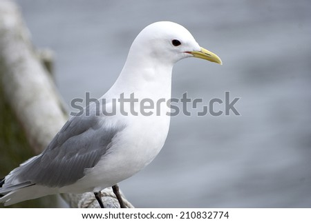 the Seagull on the background of the sea - stock photo