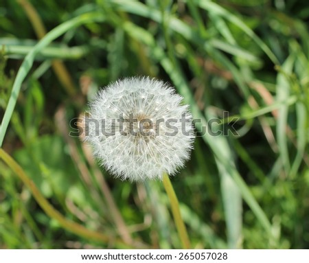 The Seed Head of a Dandelion Plant Flower. - stock photo