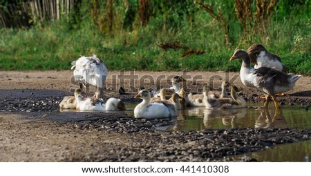 the seed of geese on the water, drink the water calinou - stock photo
