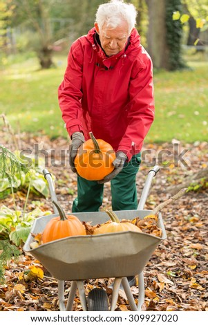 The senior man raises pumpkins in the garden