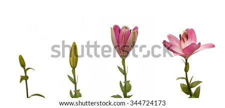 The sequence of blooming flower pink lily Oriental hybrids on a white background isolated