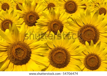 The set of the sunflower - stock photo