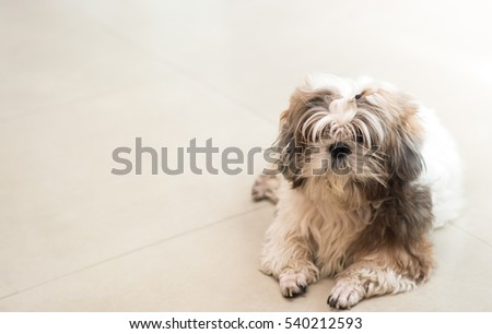 The Shaggy Shih Tzu dog with space , focus on dog nose