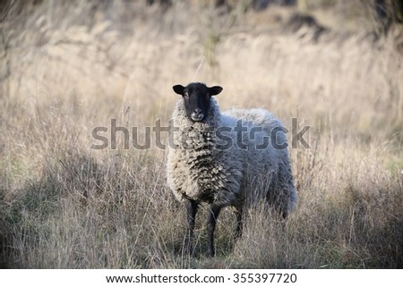 The sheep in the tall dry grass. - stock photo