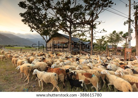 The sheeps are back to the barn at sunset. Images at a sheep farm on the prairie plains in Ninh Thuan Province, Vietnam