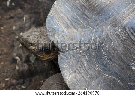 The shell of an adult Galapagos turtle - stock photo