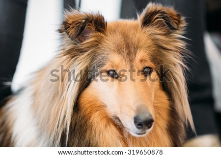 The Shetland Sheepdog, often known as the Sheltie, Collie, is a breed of herding dog. They are vocal, excitable, energetic dogs who are always willing to please and work hard. - stock photo