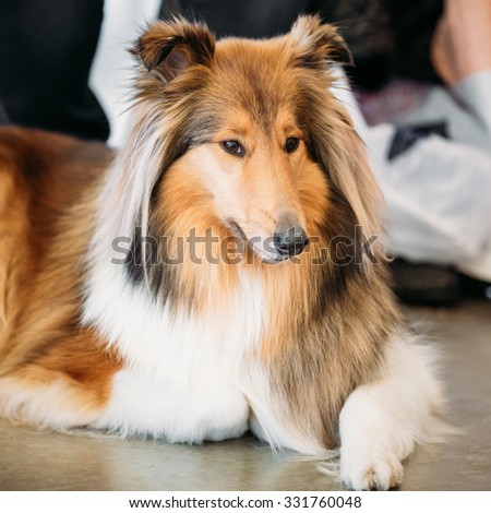 The Shetland Sheepdog, Sheltie, Collie, is a breed of herding dog. They are vocal, excitable, energetic dogs who are always willing to please and work hard. - stock photo