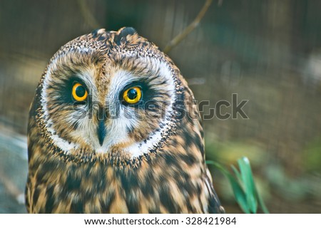 The Short Eared Owl is one of the most common owls in North America