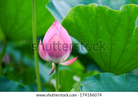 The shot of lotus leafs and the blossom - stock photo