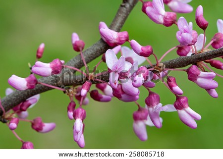 The showy blossoms of a redbud branch explode with color,  pink, magenta and white. Soft out of focus green background.