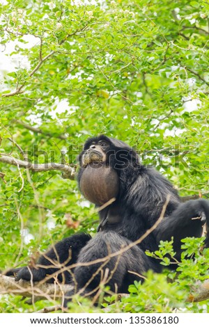 The Siamang Gibbon is screaming on the tree - stock photo