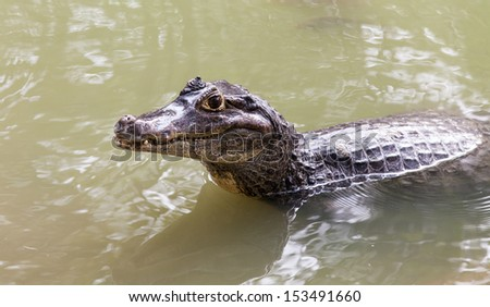 The Siamese crocodile  - stock photo
