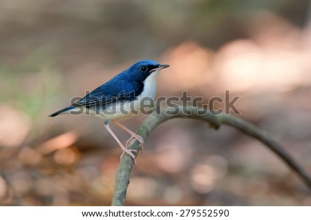 The Siberian blue robin, Luscinia cyane, is a small passerine bird that was formerly classified as a member of the thrush family, Turdidae, Thailand. - stock photo