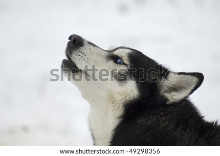 The Siberian Husky. It is a medium-size dog, dense-coat working  dog breed that originated in eastern Siberia. - stock photo