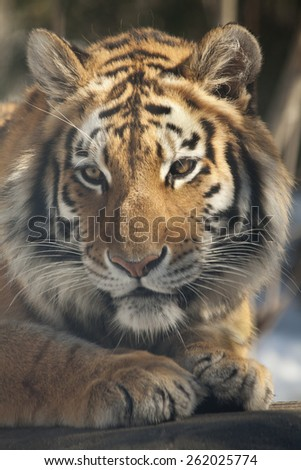 The Siberian tiger is a tiger subspecies inhabiting mainly the Sikhote Alin mountain region with a small population in southwest Primorye province in the Russian Far East. - stock photo