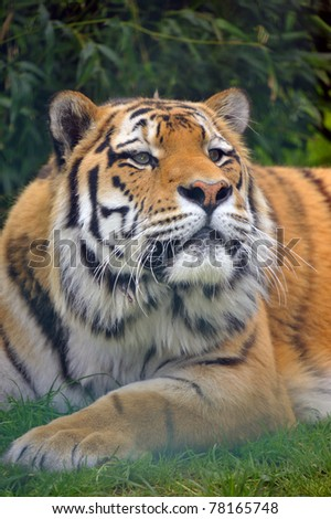 The Siberian tiger (Panthera tigris altaica) - stock photo