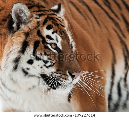 The Siberian tiger (Panthera tigris altaica) close up portrait. - stock photo
