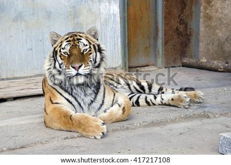 The siberian tiger (Panthera tigris altaica) in captivity - stock photo