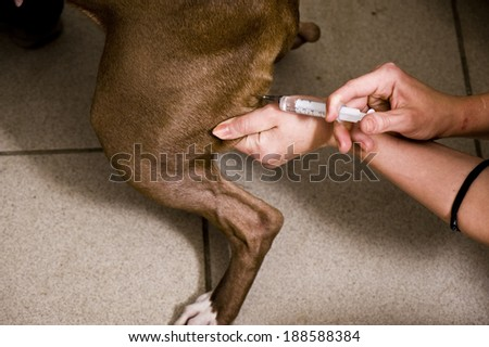 The sick dog, injection - stock photo