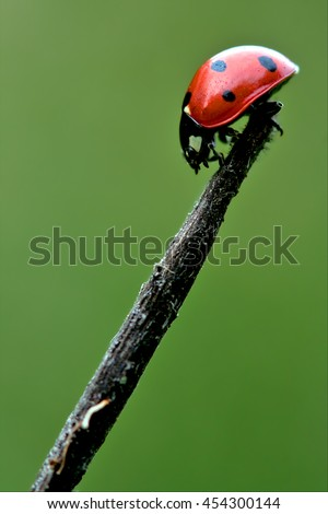 the side of  wild red ladybug coccinellidae anatis ocellata coleoptera on a grass  - stock photo