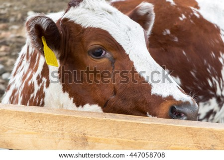The sight of a calf cows in the paddock. Breeding farm animals for products. Cow with tag number in the ear. A pastoral picture on the animal country. Animals for processing into meat and usage.