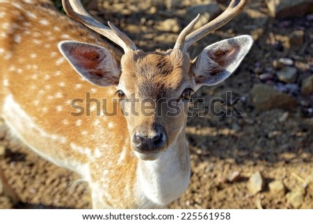 The Sika Deer, Cervus nippon, also known as the Spotted Deer or the Japanese Deer, is a species of deer native to much of East Asia and introduced to various other parts of the world. - stock photo