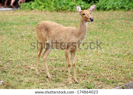 The Sika Deer looking something in the wild
